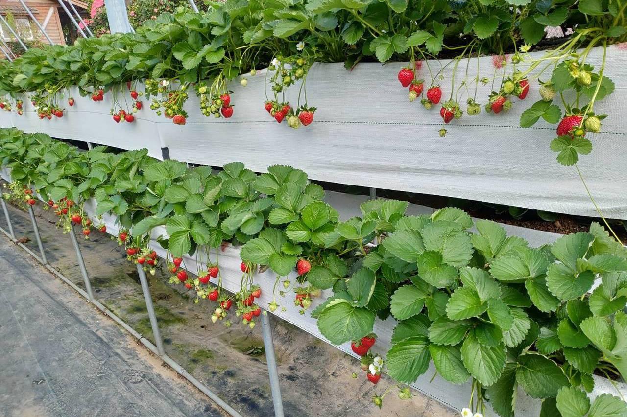 草莓季開鑼!苗栗大湖草莓12月12日開園
