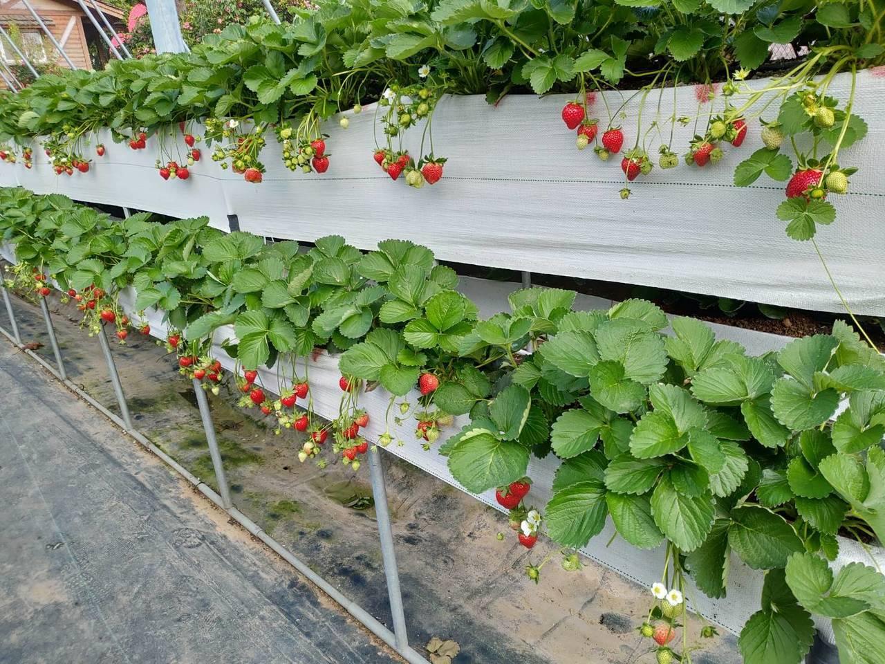 苗栗大湖草莓12月12日開園。圖/農委會苗栗農改場提供