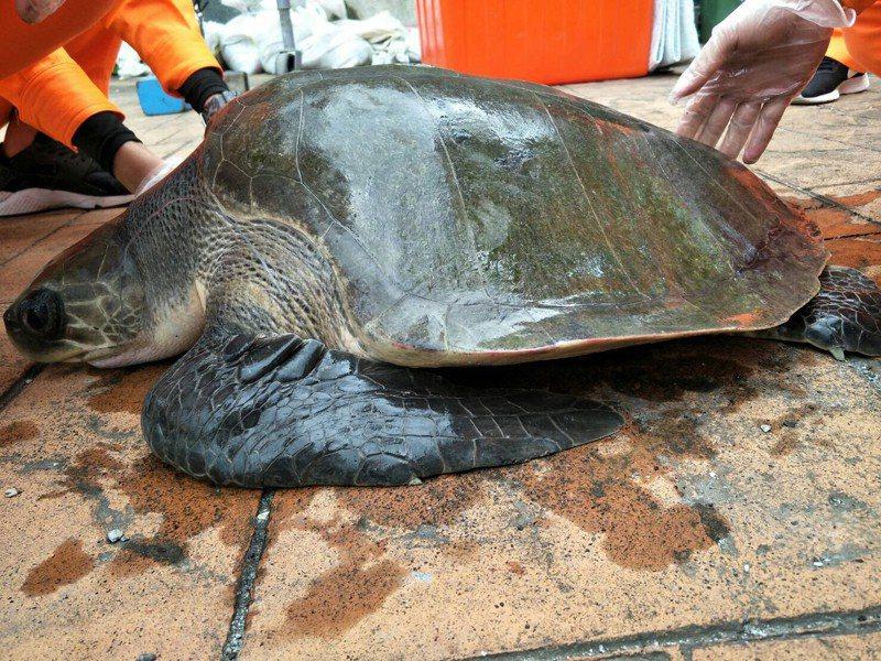 花蓮石梯漁港今天捕獲1隻約30公斤重的一級瀕臨絕種保育欖蠵龜。圖/海巡署東部分署第一二岸巡隊提供
