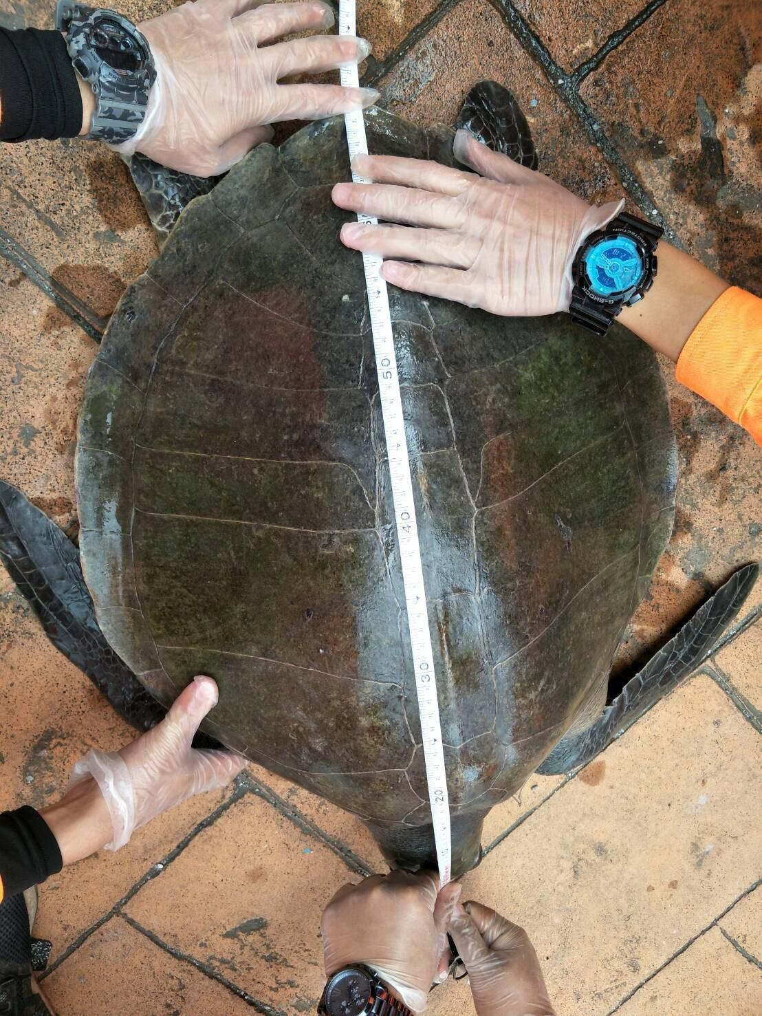 該隻欖蠵龜長約65公分、寬約50公分、體重約30公斤,生命力及行動力皆良好。圖/...