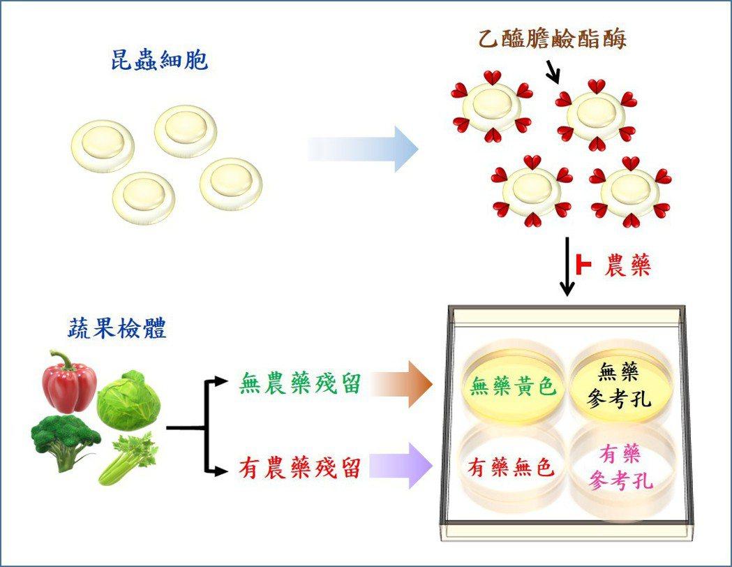 以創新細胞表面展示農藥快篩系統,並以肉眼簡易判斷農藥殘留程度。 中研院/提供