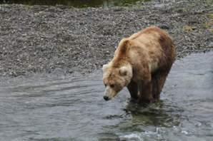 【與熊熊大師有約】建立廊道降低人熊衝突:加拿大卑詩省成功保育棕熊