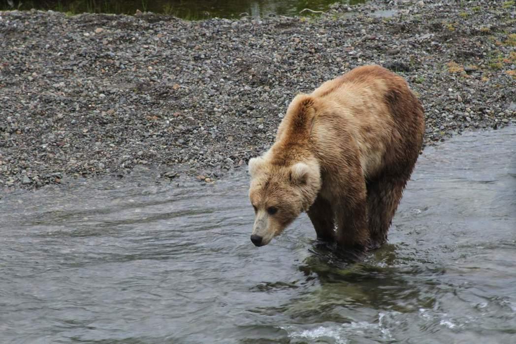 如何改善人熊衝突的問題是台灣世界各國共同面對的問題。圖為阿拉斯加州卡特邁國家公園及自然保護區的棕熊。 圖/美聯社