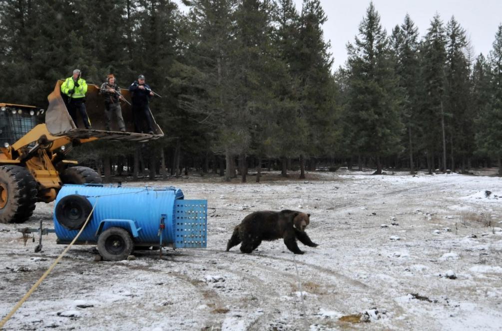 「非致命方式」在捕抓到熊隻後會再放走牠們,而不會傷害或殺死熊,藉由製造負面經驗來讓熊學習遠離人類的農場。 圖/Michael Proctor《與熊熊大師有約》簡報
