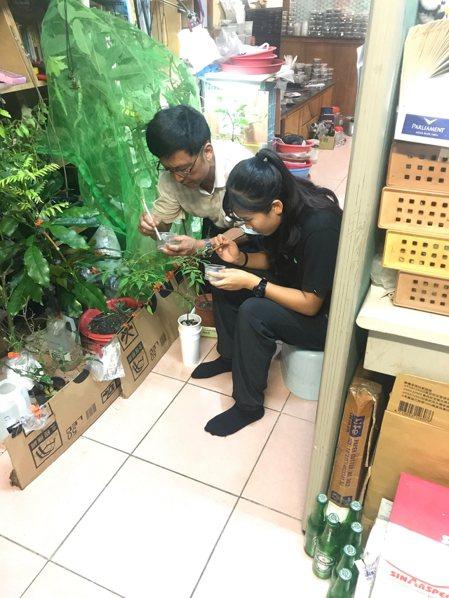陳亭予(右)和父親把孵化的鳳蝶幼蟲放置在蝴蝶食草上,幫助蝴蝶繁殖。 陳亭予/...
