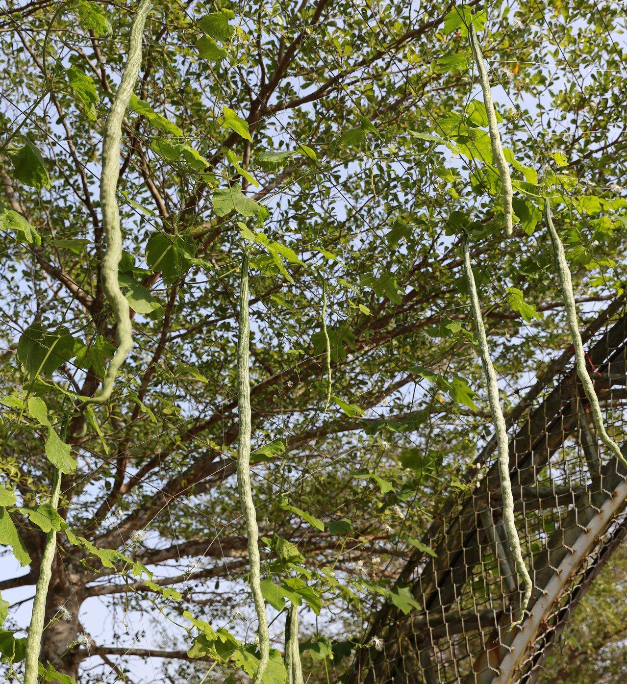 台南市左鎮區推出瓜棚下農民市集,現場栽種蛇瓜等相當吸睛。圖/左鎮區公所提供