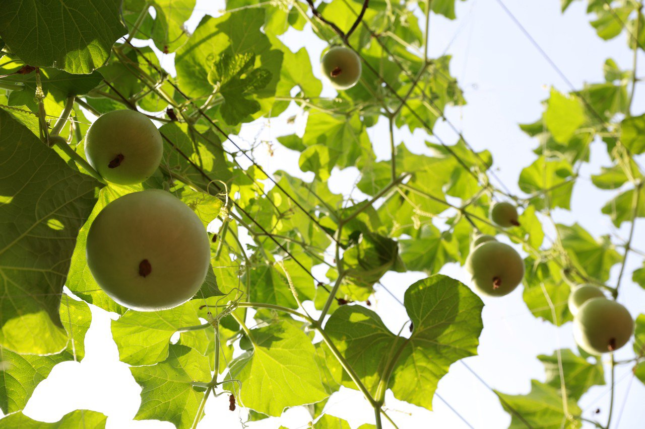 台南市左鎮區推出瓜棚下農民市集,現場栽種葫蘆等相當吸睛。圖/左鎮區公所提供