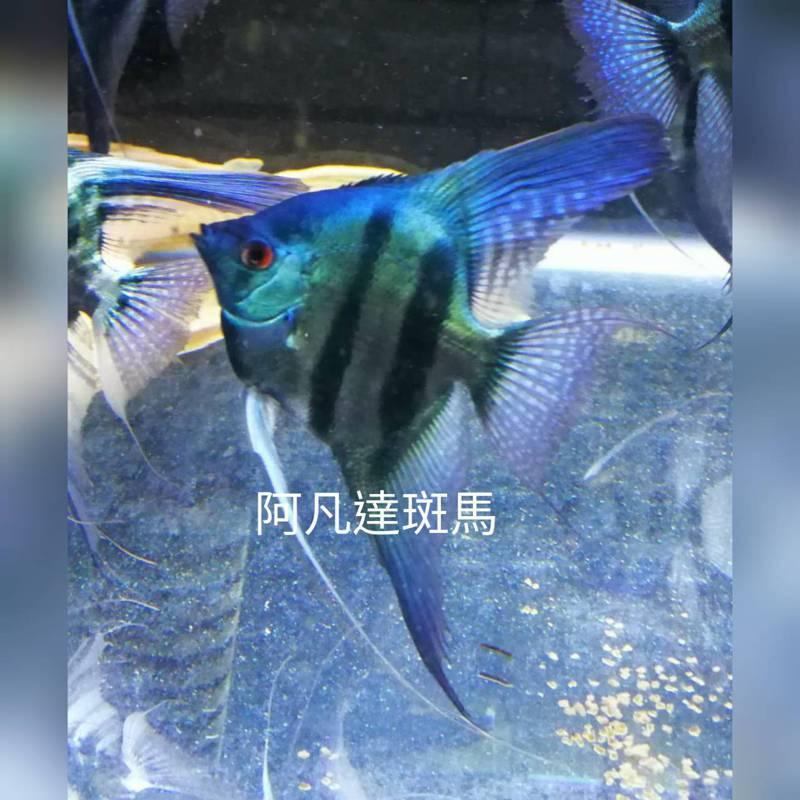 嘉義縣中埔鄉民林義川將不起眼的神仙魚,透過雜交育種,養出「阿凡達」藍色系的耀眼色澤等新品,不但在水族競賽中得名,也讓神仙魚成為外銷的熱門寵物魚種。圖/林義川提供