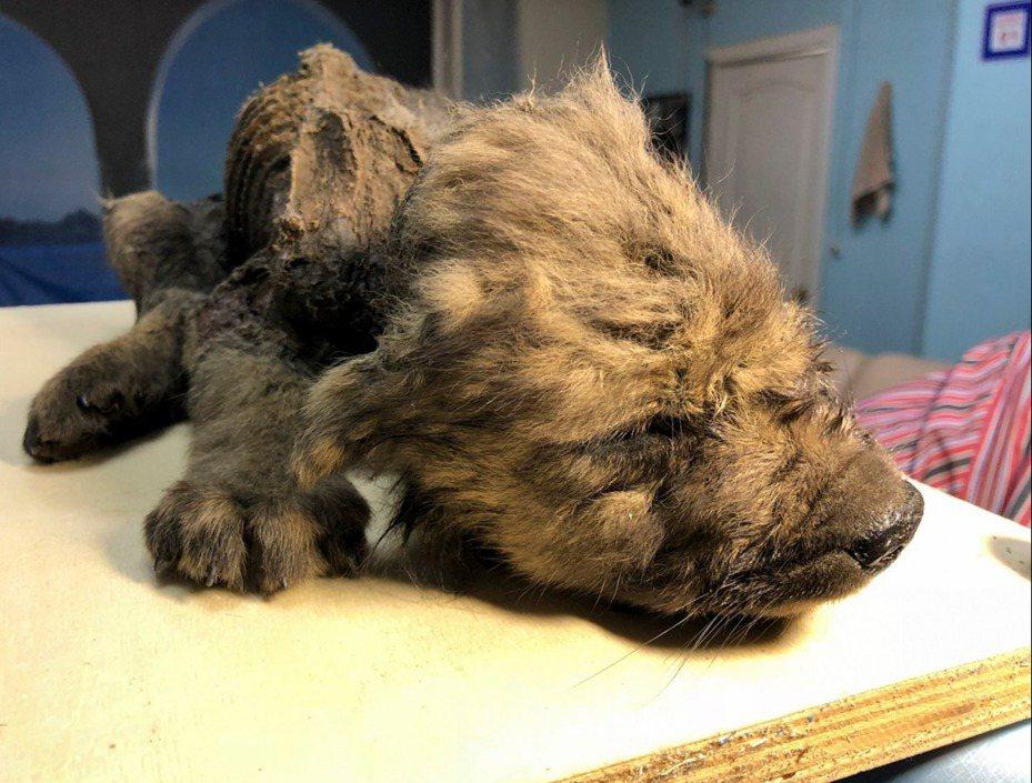 俄羅斯科學家2日首度公開展示一隻有著18000年歷史,被保存在永凍土的史前時代小狗。這隻小狗外觀和狀況異常良好。牙齒、鼻子、四肢、毛皮、髮鬚和眼睫毛等各部位都完整無缺。美聯社