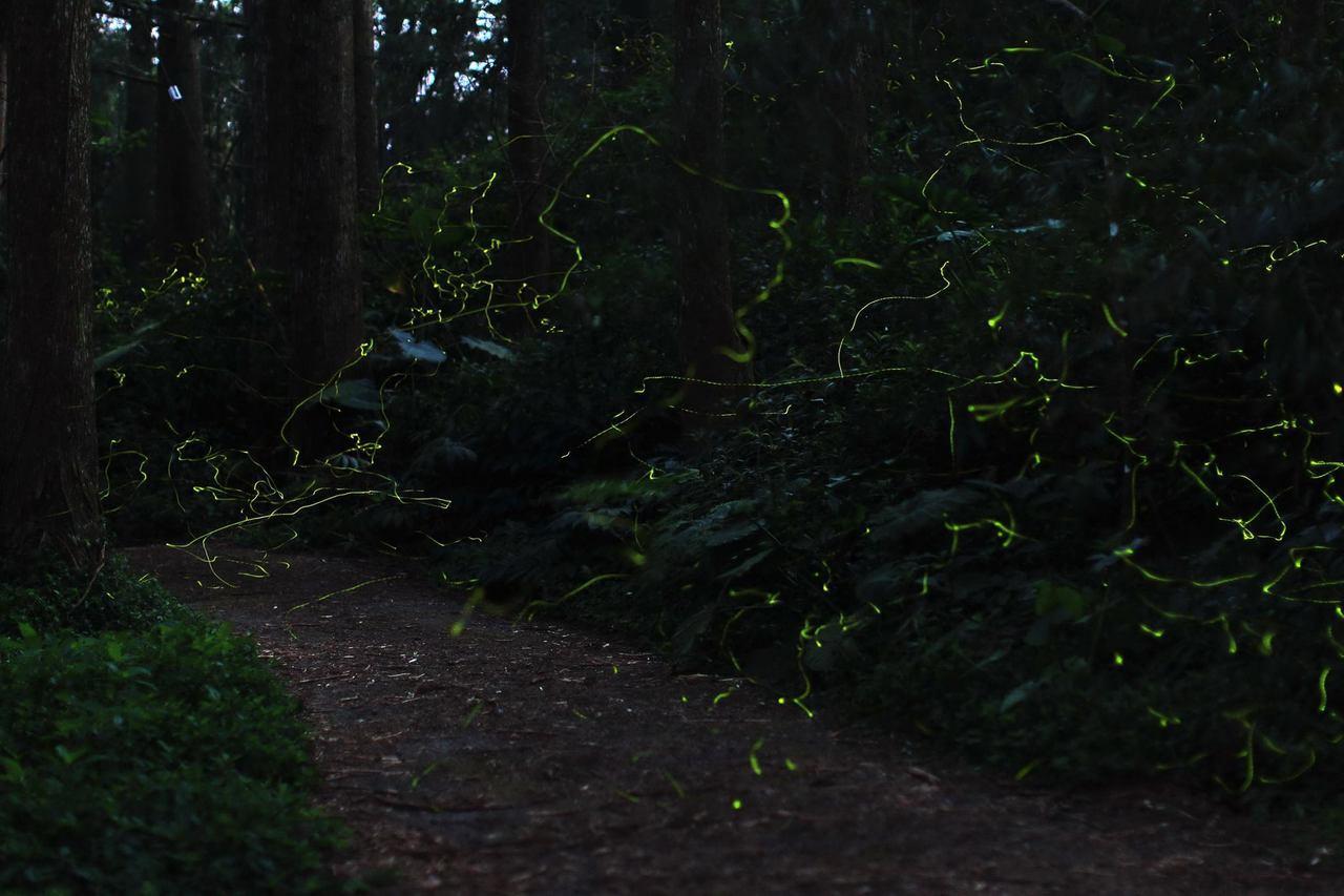 冬螢飛舞最大特色就是尾巴綠光會如同流星般在黑夜中拖曳,看起來相當夢幻美麗。圖/林...