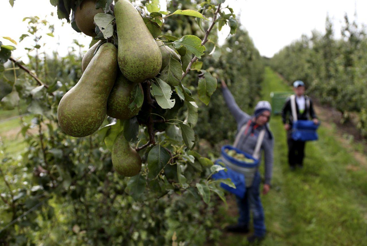 每日郵報報導,8名台灣籍女背包客赴澳洲一個果園工作時,被迫以性行為交換雇主容許她...