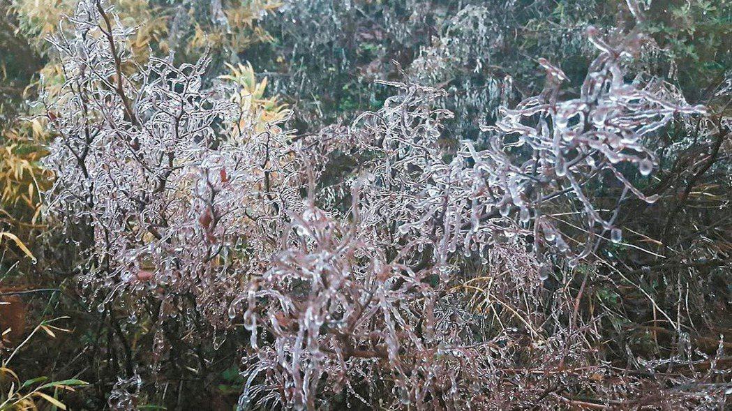 今晨合歡山氣溫已下降到0.2~0.3度,樹枝上的水氣都已結成霧淞冰滴。 圖/松雪...