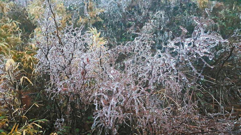 今晨合歡山氣溫已下降到0.2~0.3度,樹枝上的水氣都已結成霧淞冰滴。 圖/松雪樓提供