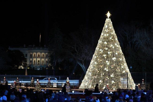 這棵由2500多盞電燈裝飾的30呎高藍葉雲杉點燈後變成金黃耶誕樹。記者羅曉媛/攝...