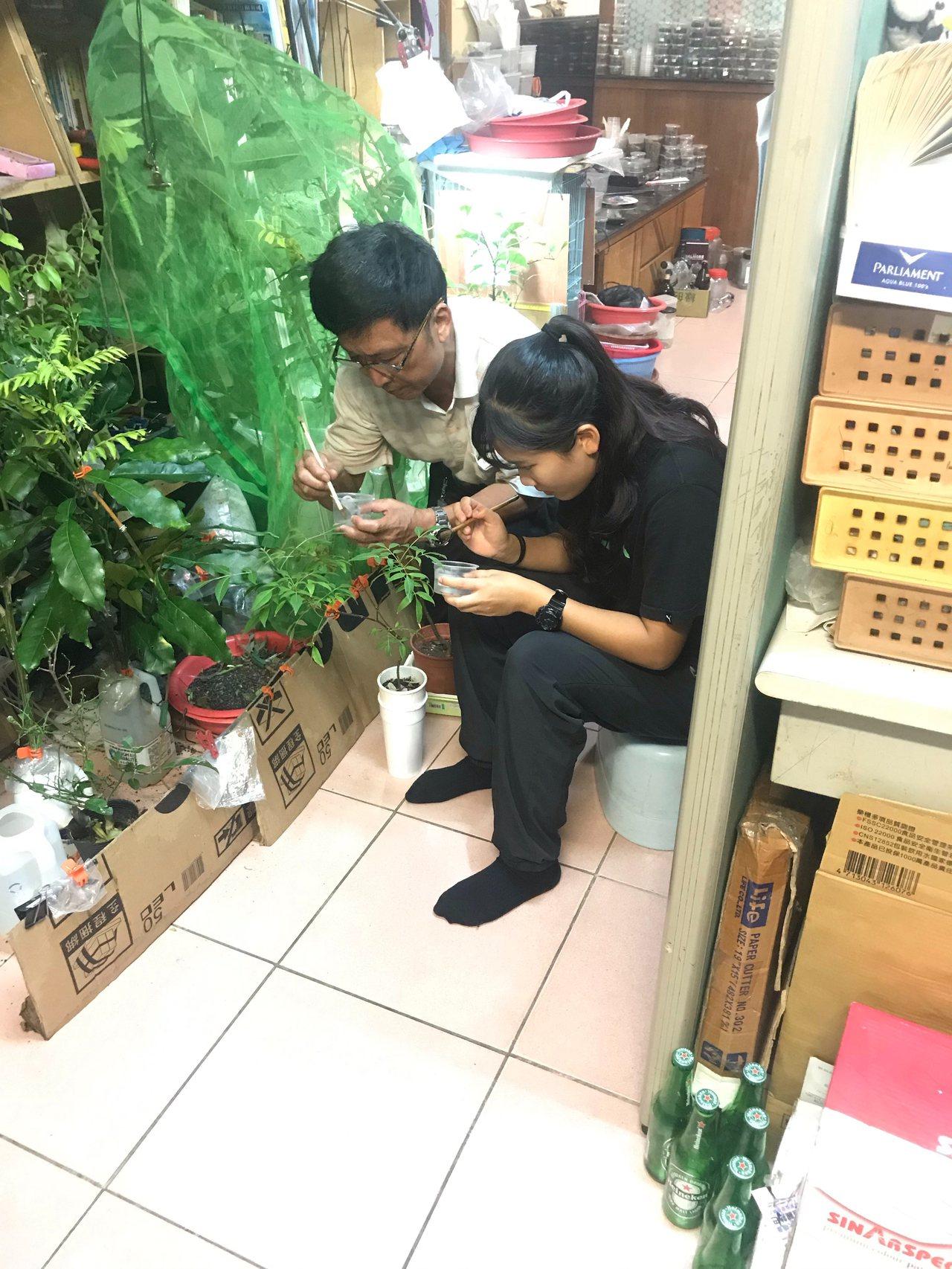 陳亭予(右)和父親把孵化的鳳蝶幼蟲放置在蝴蝶食草上,幫助蝴蝶繁殖。圖/陳亭予提供