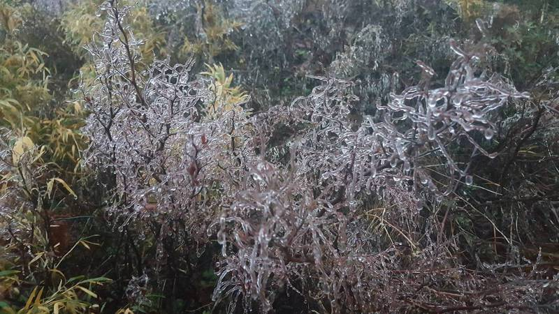 今天清晨合歡山氣溫低,雖已經下降到零點2到零點3度,只見樹枝上的水氣都已結成霧淞冰滴。圖/松雪樓提供