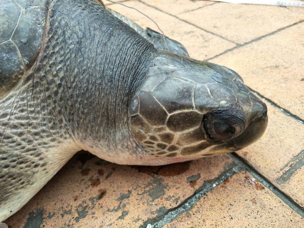 欖蠵龜小石疑因誤咬魚鉤受傷,目前已送到台灣海洋大學暫時收容。圖/第一二岸巡隊提供
