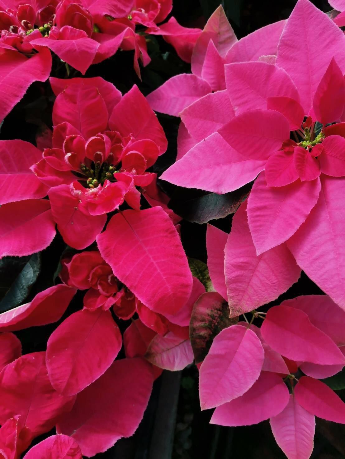 興大園藝系培育的新品種「女神」(左)立體蓮瓣花型,花型表現特殊且生動,突破傳統聖...