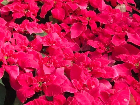 興大園藝系培育的新品種聖誕紅「女神」立體蓮瓣花型,花型表現特殊,花色非典型紅色苞...