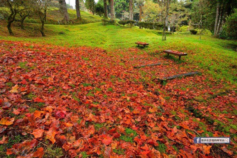 因雨水而落下的紅葉,在阿里山上構成大片的紅葉地毯。圖/漫步在雲端的阿里山粉絲團授權使用