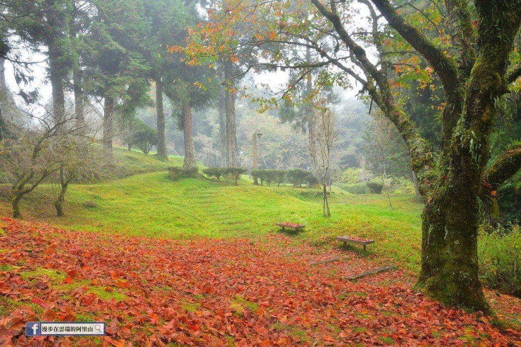 紅葉地毯在山嵐霧氣的襯托之下,宛若仙境。圖/漫步在雲端的阿里山粉絲團授權使用