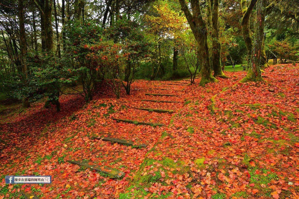 大片大片的紅葉地毯,顯得十分浪漫。圖/漫步在雲端的阿里山粉絲團授權使用