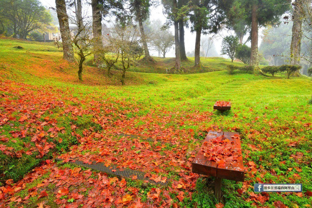 遍地紅葉與綠意交織,形成另一種天然美景。圖/漫步在雲端的阿里山粉絲團授權使用