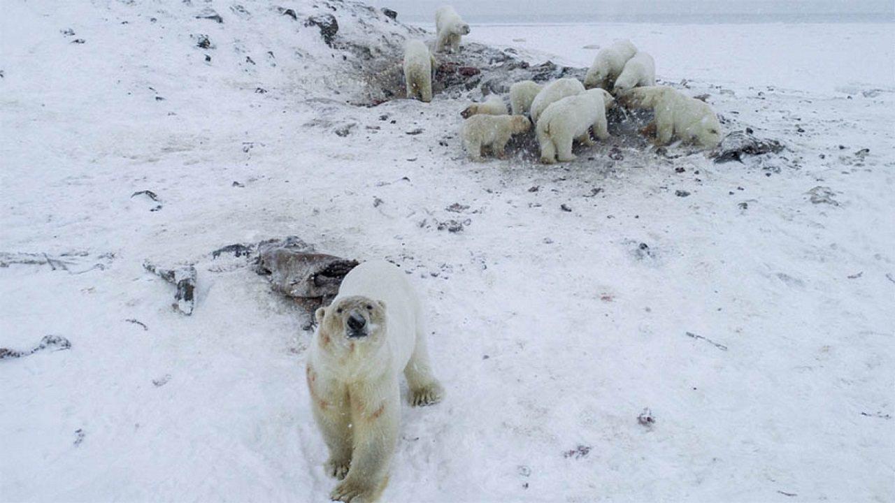 俄羅斯遠東一處極北村莊近日遭到超過50頭北極熊入侵,當局已指示民眾組成巡邏隊,取...