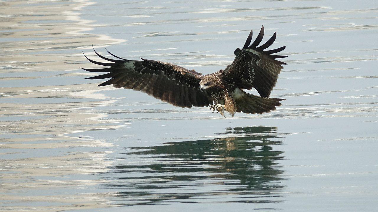 林姓男子拋擲腐肉吸引老鷹俯衝水面覓食,以利拍照,法官認定林非常態性餵食,判決無罪...
