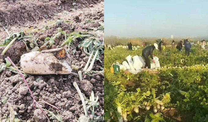 菜農一句話誤傳成「免費蘿蔔隨便拔」,引來上千人一窩蜂湧去拔蘿蔔。圖翻攝自微博