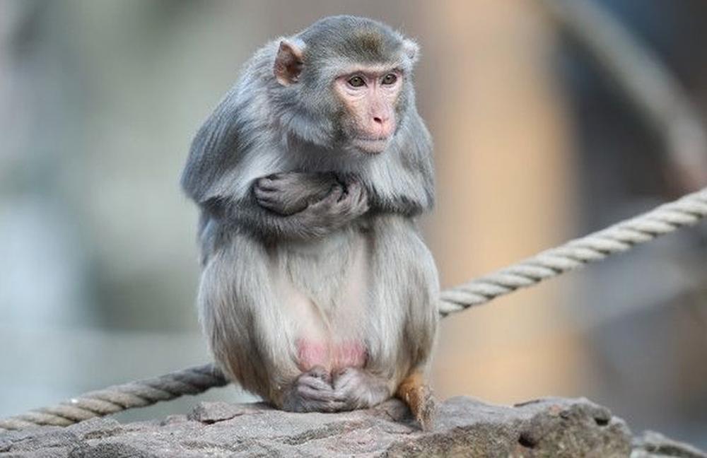 陸科學家將人類大腦基因植入恒河猴的腦中,發現這些被改造過的猴腦的記憶,較野生猴子...