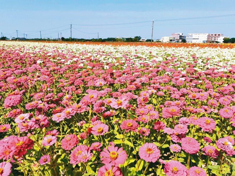 嘉義市花海節一連兩周的周六、日舉辦,今年暖冬少雨,各種花卉已提早綻放,14公頃花海景色壯麗。圖/報系資料照片