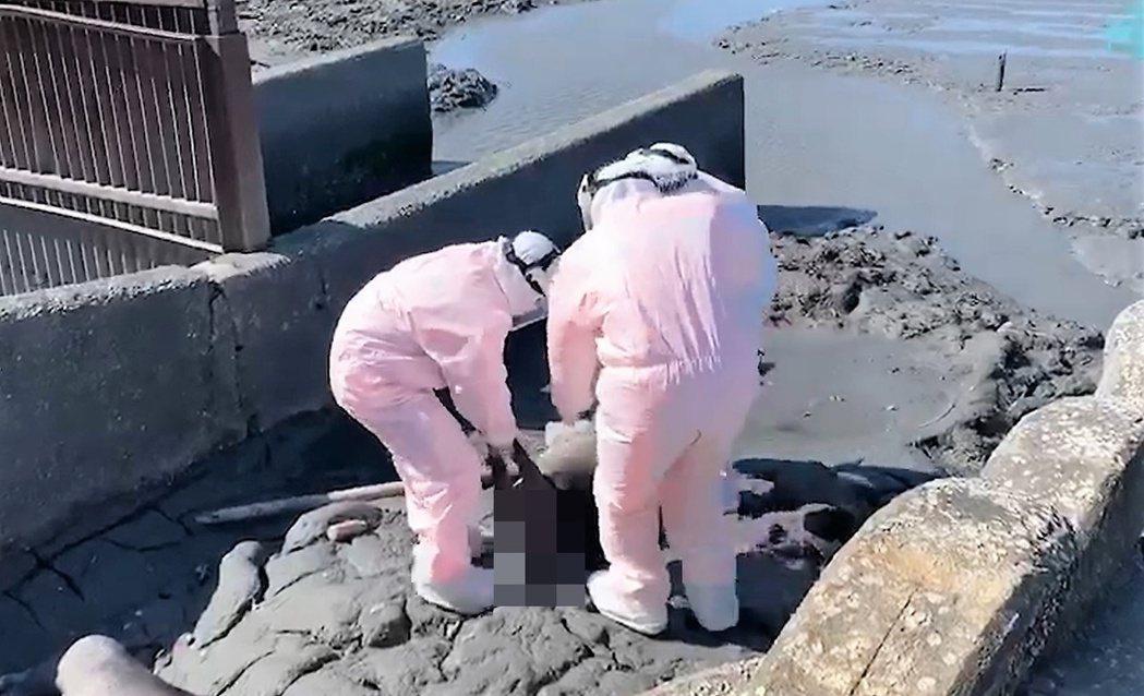 彰化縣大城鄉海邊今天驚見數個麻布袋,打開發現五隻豬屍。圖/海巡署提供