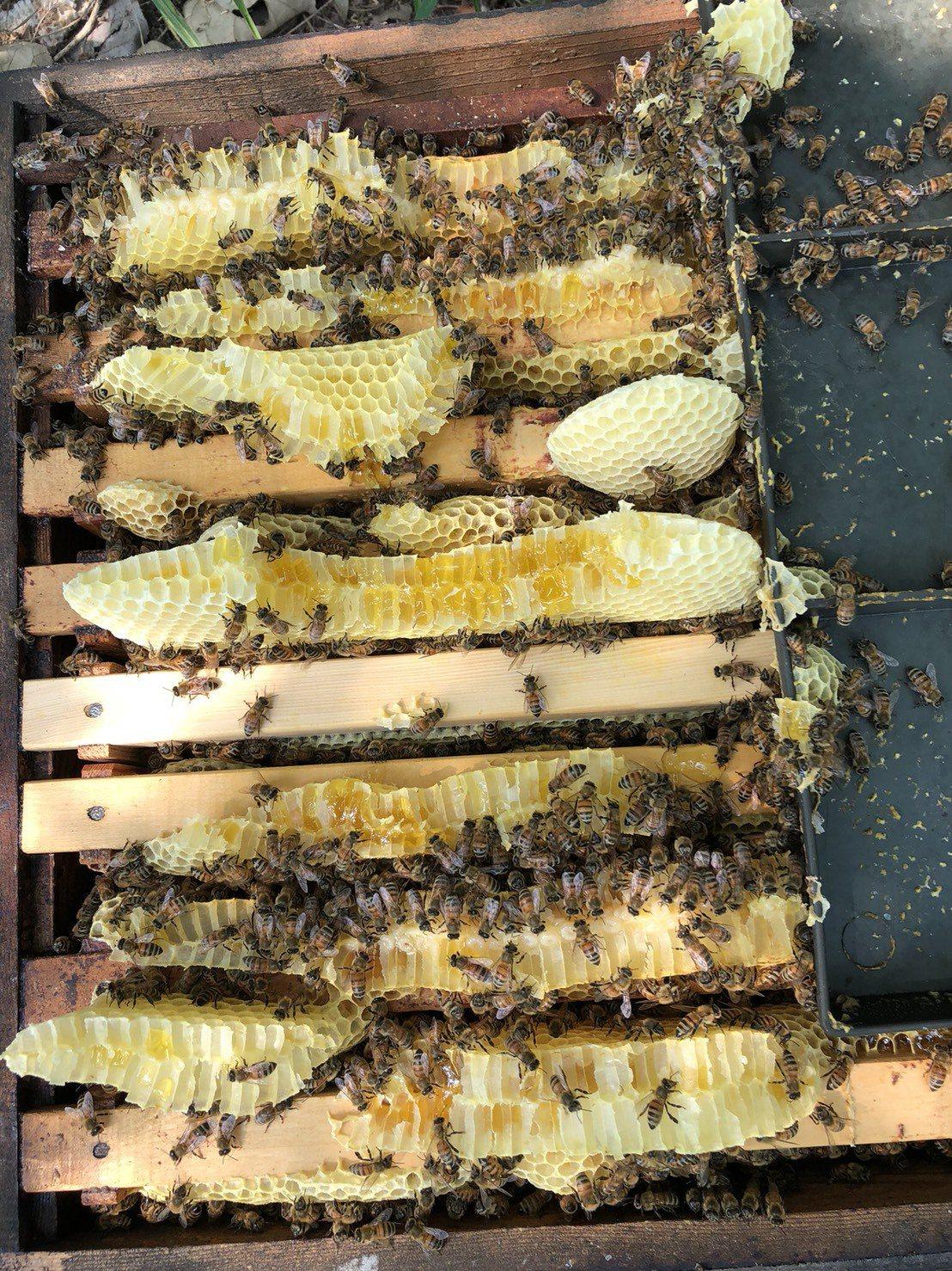 全球暖化衝擊蜂蜜產量。圖/蜂農徐陳森提供