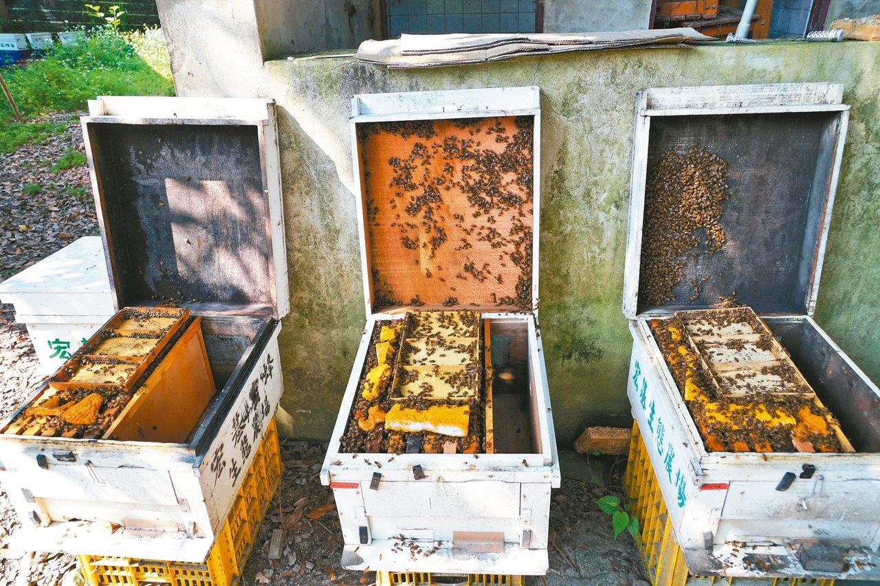 去年暖冬導致荔枝龍眼不開花,蜜蜂無花蜜可採,連帶蜂蜜大減產。 圖/聯合報系資料照...