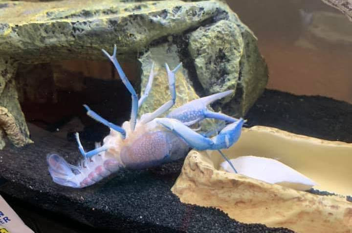 海莉飼養的小龍蝦Vengeance自夾影片被放上網,結果有大量台灣網友前來朝聖。圖擷自Vengeance the Crayfish
