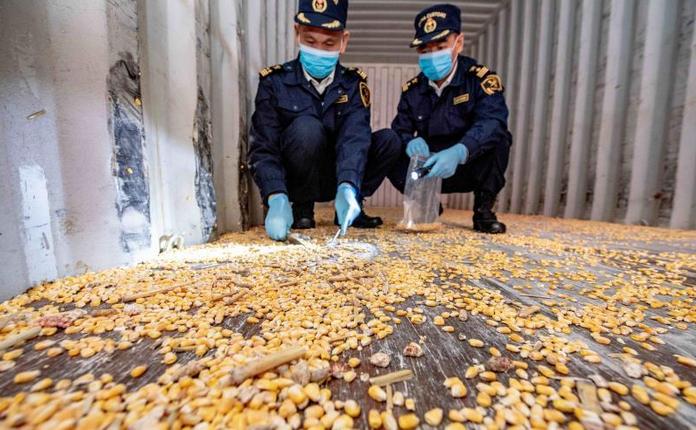台灣轉口小三通進境汕頭海關的46個空貨櫃,有殘留轉基因玉米種子、活體昆蟲等。取自...