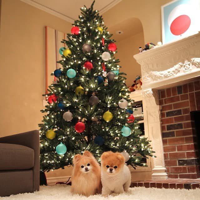 博美犬阿布(右)有專屬的臉書粉絲團。牠已在今年一月去世。 (取自官方臉書)