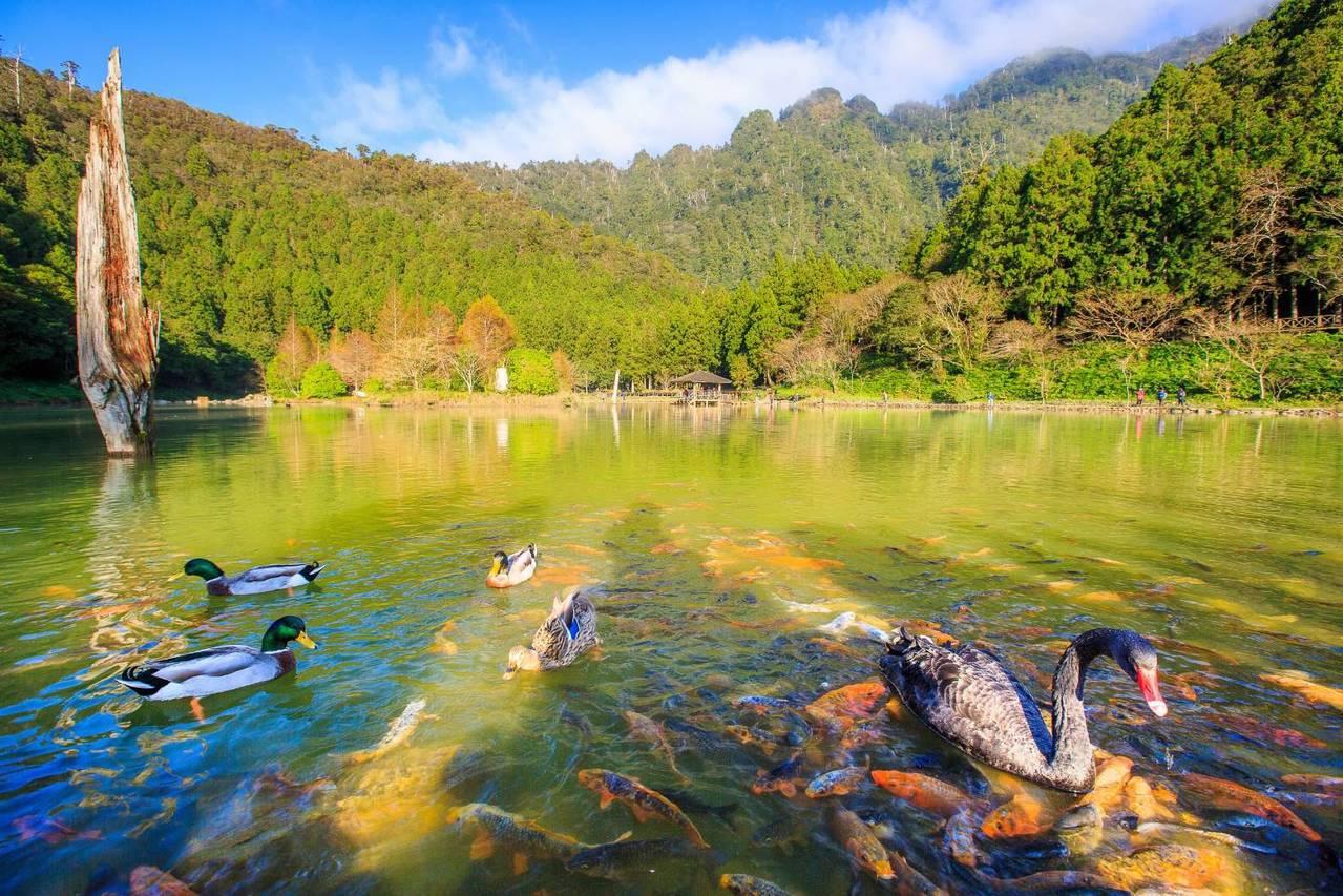 宜蘭明池森林遊樂區的四周林木環繞,池面如境,映襯著倒影,還有鵝鴨悠遊增添浪漫。 ...