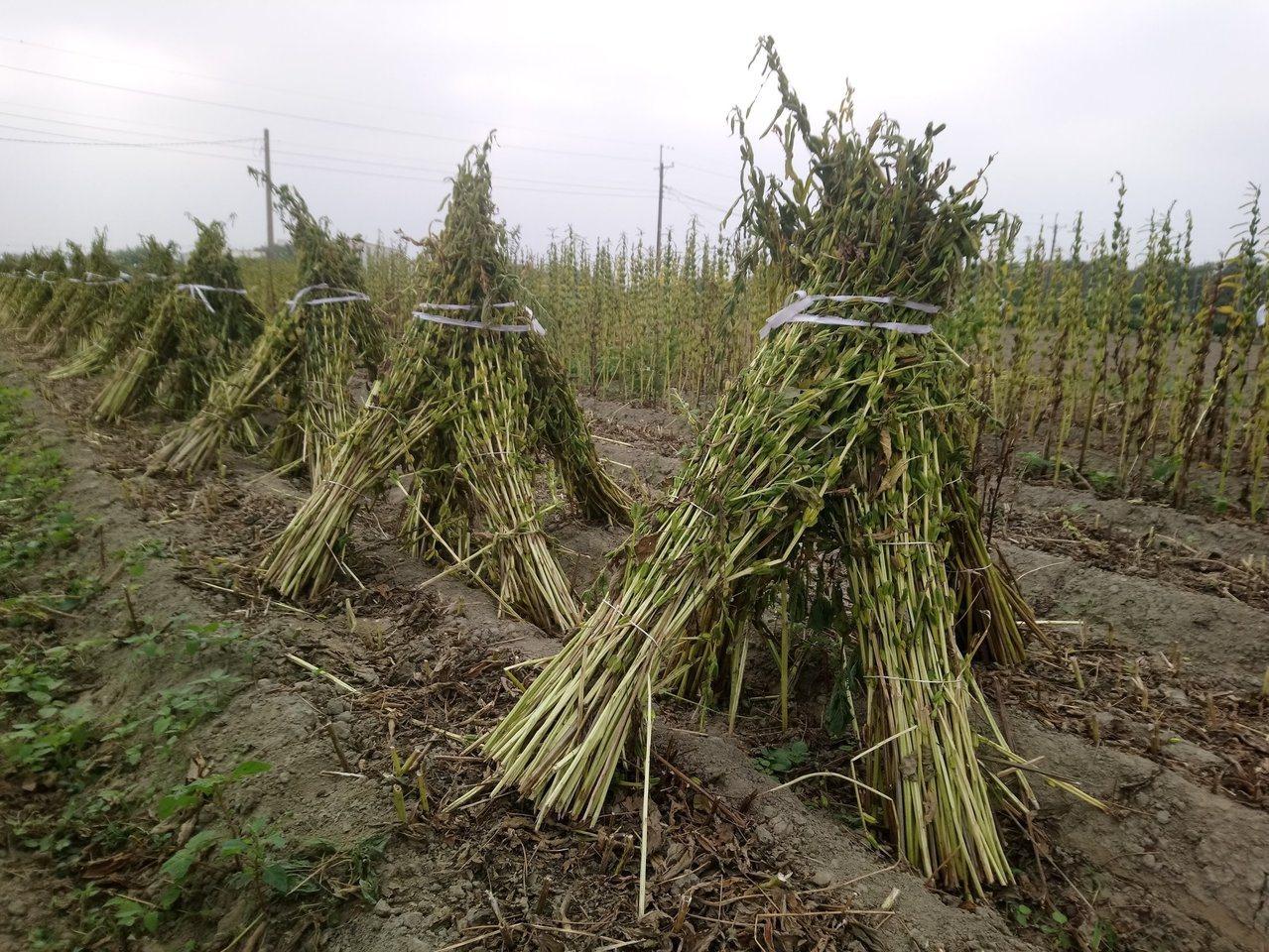 胡麻採收工序繁多,人力需求大,目前台南地區胡麻正進入採收期。圖/台南區農改場提供