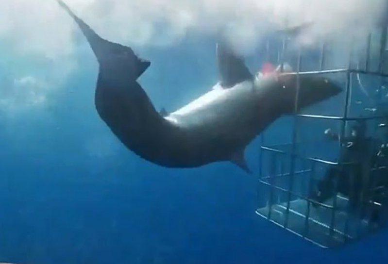 一條大白鯊向有4名潛水客在內的鯊籠發動攻擊,頭卻不幸卡在縫隙間。鯊魚不斷猛力掙扎,造成腮部大量流血,在經歷25分鐘痛苦掙扎後不幸死亡。CEN/@arturooislas