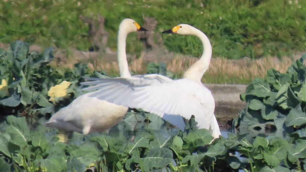 台中市大甲區某處水田最近出現來自北極小天鵝家族,父母帶孩子共3隻,在水田水域覓食...