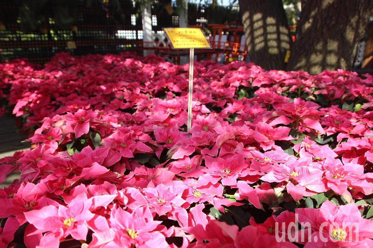 新品種聖誕紅「羅莎」顏色偏向桃紅。記者林敬家/攝影