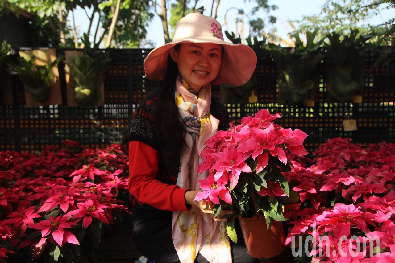 田尾公路花園「聖誕紅」出現買氣。記者林敬家/攝影
