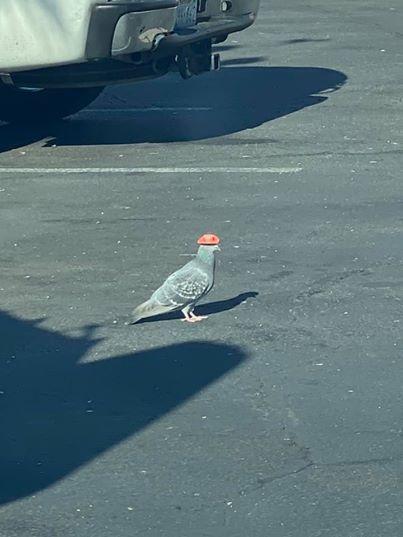 美國拉斯維加斯近日出現被人黏牛仔帽在頭上的鴿子。(取自臉書)