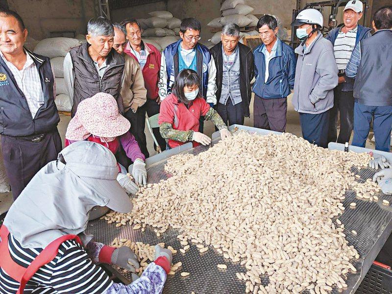 農委會以每台斤40元收購花生,各農會向中央反映倉儲不足、銷售等問題。 記者李京昇/攝影