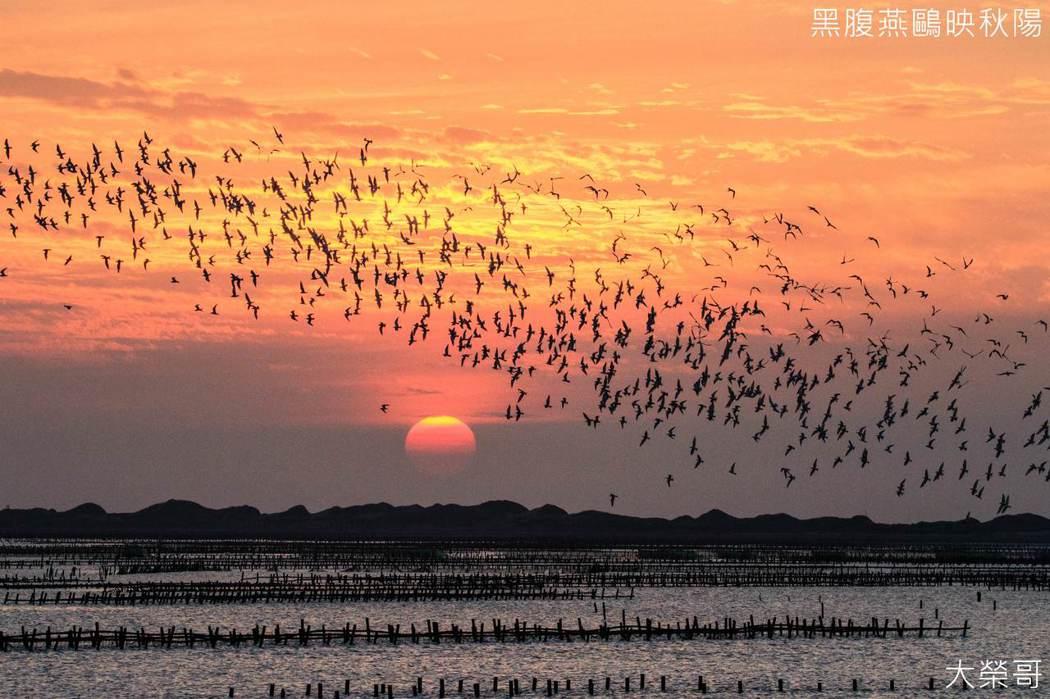 季節限定黑腹燕鷗 台灣自然鳥類生態奇觀