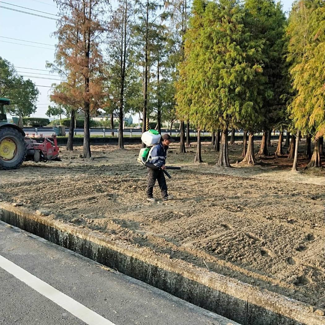 六甲區公所在落羽松旁栽種2分的波斯菊,昨天開始整地播種。圖/六甲區公所提供