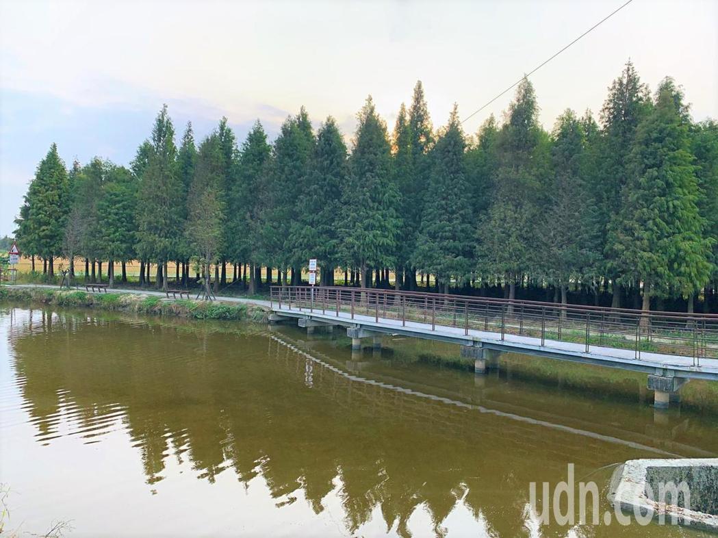 台南六甲落羽松緊鄰國家級濕地菁埔埤,搭配水景更美。記者吳淑玲/攝影