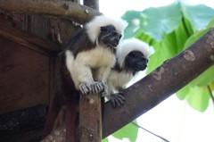 動物園棉頭絹猴超寵妻 吃飯睡覺都放閃